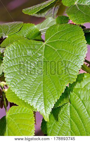 Foliage of large-leaf linder (Tilia platyphyllos) shot in spring.