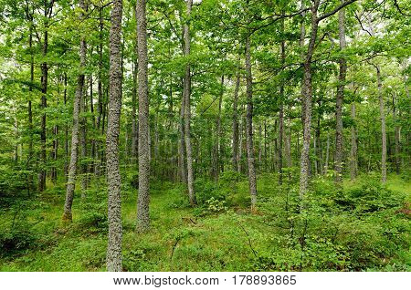 Forests of Turkey oak (Quercus cerris) and European hornbeam (Carpinus betulus) shot on the mountain Jastrebac (Serbia).