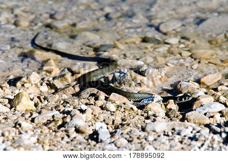 The grass snake (Natrix natrix) shot on a bank of a lake.