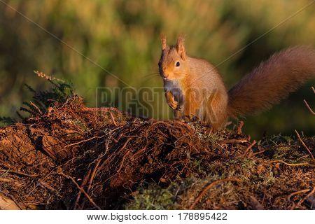 Red Squirrel (sciurus vulgaris) sat on the ground, Caledonian Forest, Scotland,UK