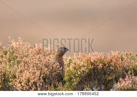 Female Red Grouse (lagopus lagopus scoticus) Scotland UK. Close up in heather staring into the distance