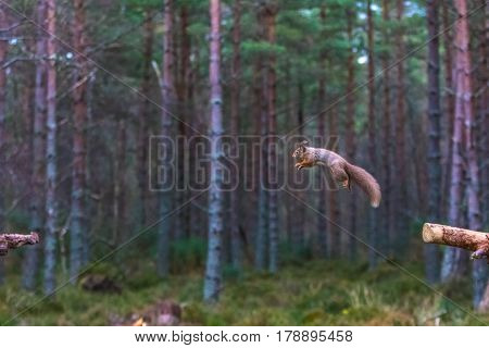 Red Squirrel (sciurus vulgaris) leaping from one stump to another Caledonian Forest ScotlandUK