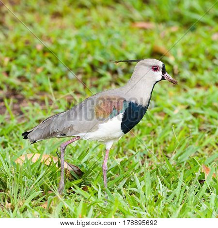 Southern Lapwing Bird Walking On Grass