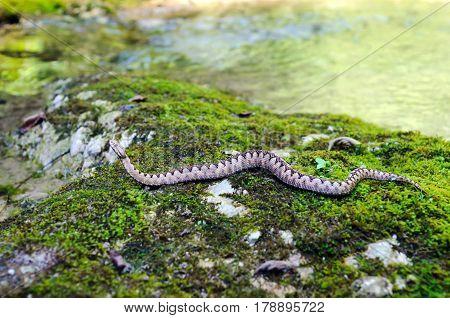 Horned viper (vipera ammodytes) in its natural environment.