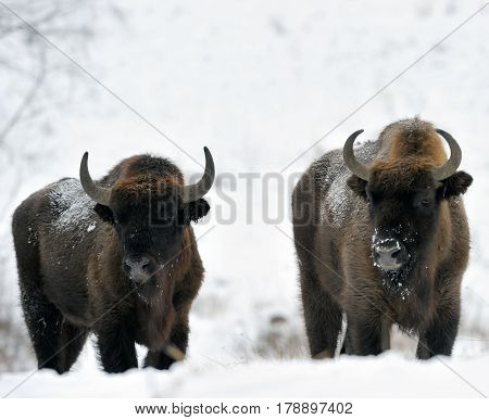 Bisons winter day in the snow buffalo