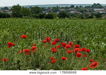 Bright red poppy or Papaver, camomile and  blue weed wildflower in the wheat  field near by Ostrovo village, Bulgaria