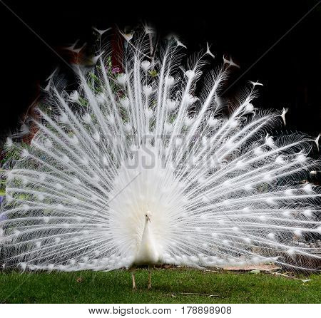 White peacock with outspread tail on the lawn