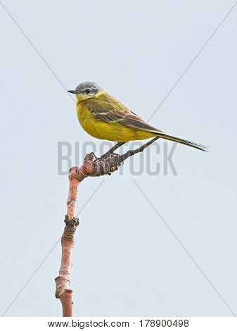 Western yellow wagtail stitting on the top a branch