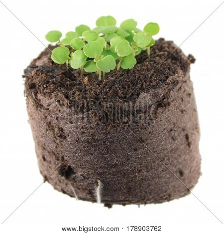 Seedling of balm mint (Melissa officinalis) with two green cotyledon leaves and small true leaf in clod of soil isolated on white background