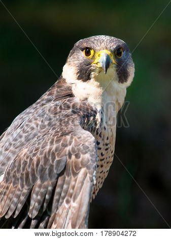 Peregrine Falcon Bird of Prey Portrait black background