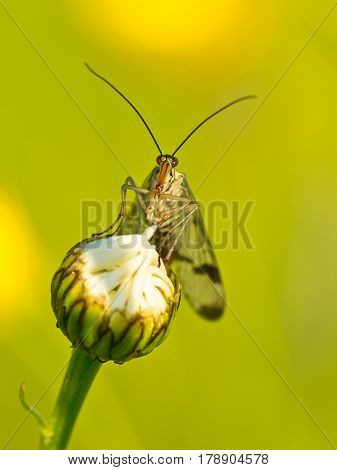 Scorpion Fly Portrait