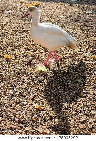 White seabird and its shadow walking a cross the sandy beach,