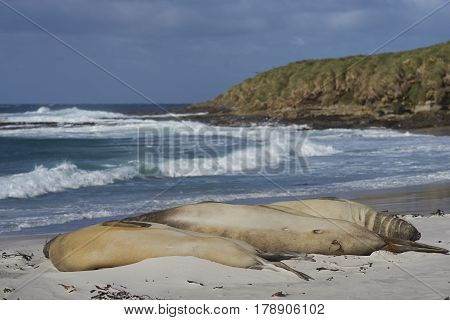 Group of Southern Elephant Seals (Mirounga leonina) sleeping on a sandy beach on Sealion Island in the Falkland Islands.