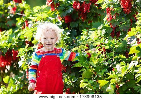 Little Boy Picking Red Currant Berry