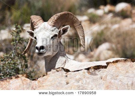 Albino Bighorn Ram Sheep