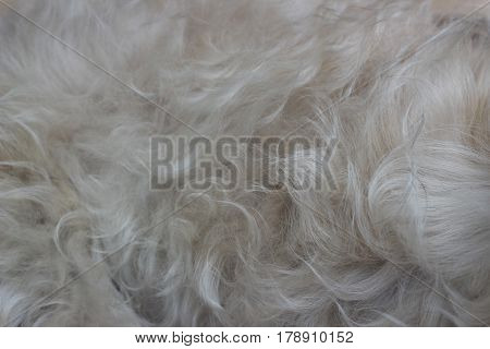 The hairline of a small dog is a gray background