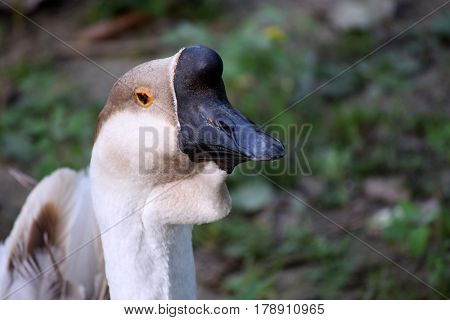 Portrait of the Chinese geese, species with an unusual bump on the top of the head