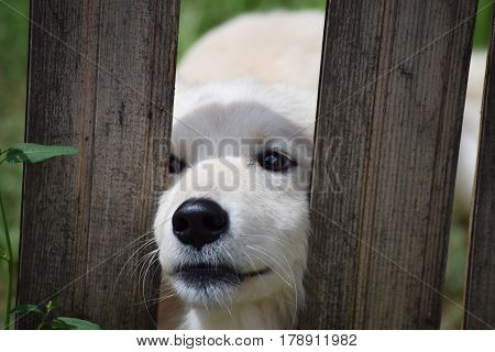 Portrait of a baby dog that pushes his snout through the boards on the fence