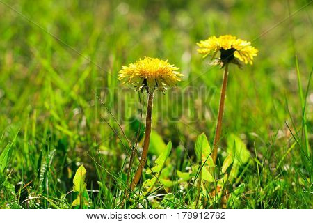 Two Small Cute Yellow Dandelion Flowers On Green Grass