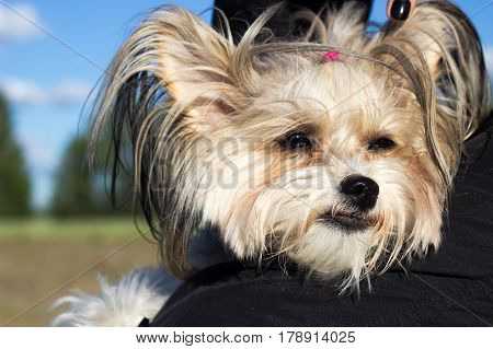 Portrait of a Chinese crested dog hold in arms outside in the summer meadow