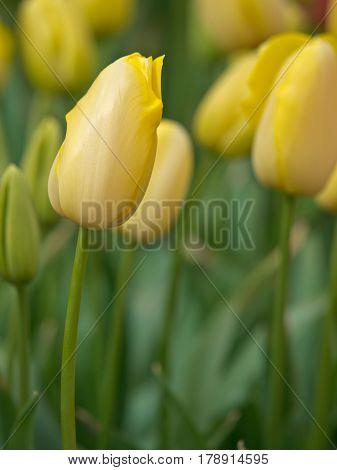 Portrait Of Yellow Tulips