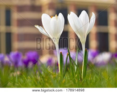 Two Blooming White Crocus