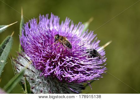 Bees on the purple flower of burdock, photographed close up