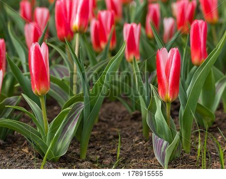 Flower Bed Of Blooming Tulips