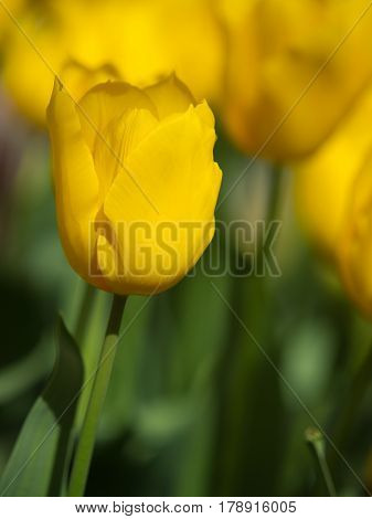 Tulip With Shallow Depth