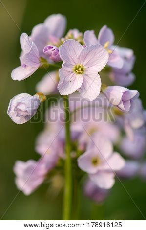 Cuckooflower or lady's smock (Cardamine pratensis) flower spike. Perennial plant in the cabbage family (Brassicaceae) flowering in Spring in the UK