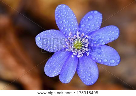 Spring flower. Beautiful blooming first small flowers in the forest. Hepatica. (Hepatica nobilis)