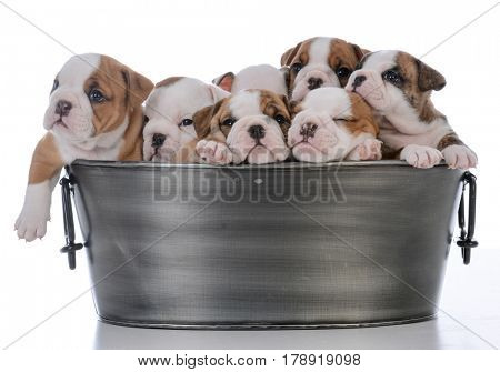 litter of seven bulldog puppies in a wash basin on white background