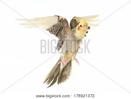 flying gray cockatiel in front of white background