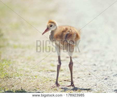 Sandhill Crane Chick portrait