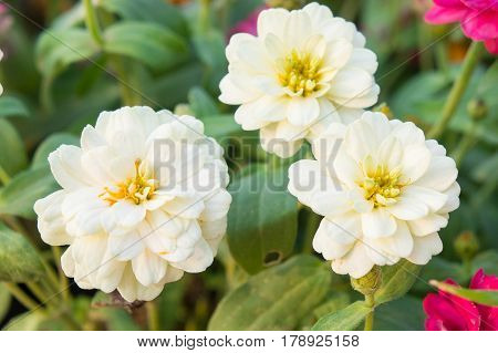 The white zinnia flowers in the garden