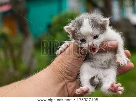 Small, newborn kitten in the hand meows.