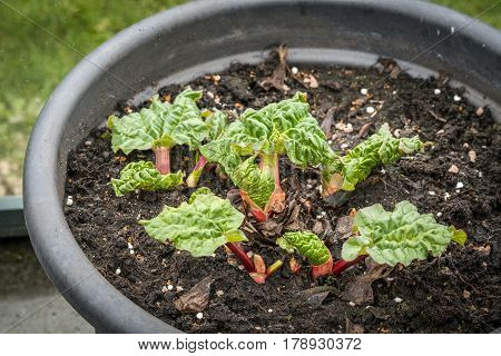 Rhubarb Plant In The Early Stage