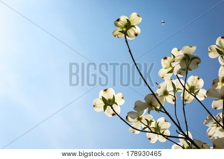Southern Dogwood Trees In Bloom