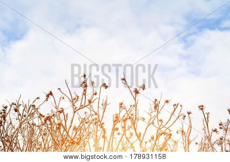 Bushes of a dogrose in the spring in the snow against the background of the sky and clouds.