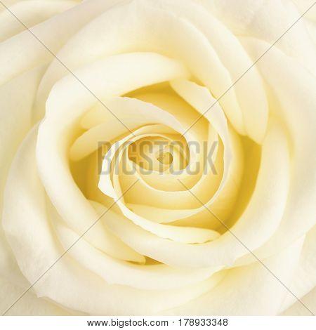 Square crop close up of pastel yellow tea rose.
