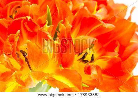 Close up of orange parrot tulip bouquet