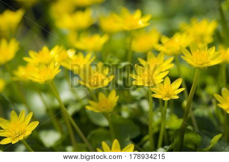 Lesser Celandine (Ranunculus ficaria) group flowering in a Ditch Side