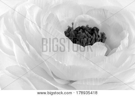 Rununculus Buttercup white and black  flower macro