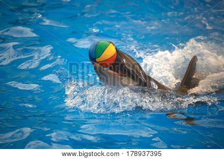 Dolphin playing with a ball. Dolphinarium Phuket. Thailand