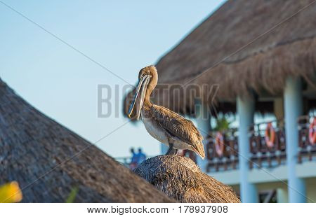 Pelican on the caribbean beach in Mexico
