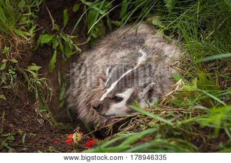 North American Badger (Taxidea taxus) Wrinkles Nose - captive animal