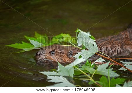North American Beaver Kit (Castor canadensis) Swims Under Leaves - captive animal