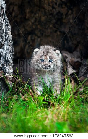 Canada Lynx (Lynx canadensis) Kitten Walks Forward - captive animal