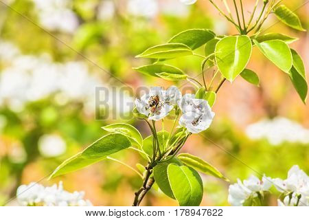 Flowering branch and a bee on a flower pear tree on the blurred background of a spring garden. Selective focus