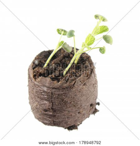 Seedling of common sage (Salvia officinalis) with two green cotyledon and small truein leaves in clod of soil isolated on white background